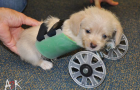 3D Printing: No more tumbles for Tumbles the puppy